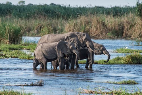 Three elephants in the water of the Okavango Delta
